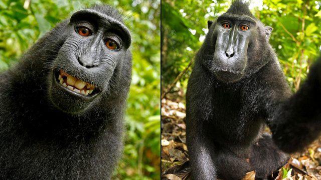 Monkey selfie in Indonesia