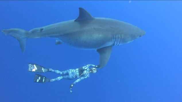 Swimming with Deep Blue the great white shark